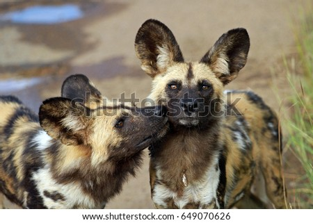 African wild dogs, Pilanesberg National Park, South Africa  #649070626