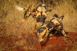 African wild dogs playing on red sand