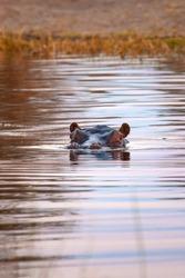 African wild hippopotamus eyes in the water