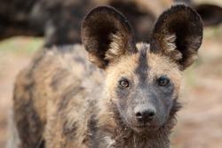 African Wilddog Portrait taken on a safari in South Africa
