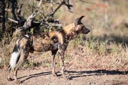 African Wilddog seen on a safari in South Africa