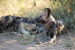 African Wilddogs seen on a safari in South Africa