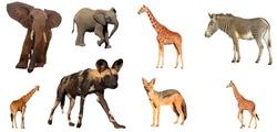 African wildlife isolated. Elephants, Giraffes, Zebra, Wild Dog and Jackal on white background.