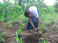 african woman using a hoe in her farmland in africa