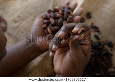 African worker holding Cocoa bean for making a Cocoa nibs and hot cocoa and chocolate, selective focus