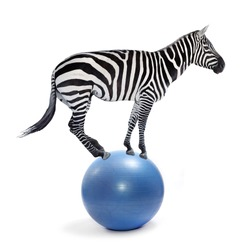 African zebra balancing on a ball. Funny animals isolated on white background.