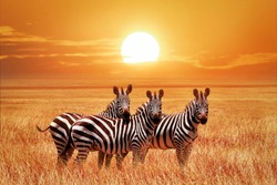 African zebras at sunset in the Serengeti National Park. Tanzania. Wild nature of Africa.