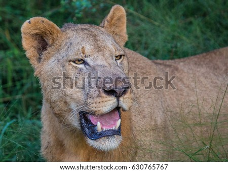 Afrion lion in the savannah at the Hlane Royal National Park, Swaziland #630765767