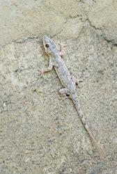 Afro-american House Gecko - Hemidactylus mabouia, beautiful common lizard from African houses, woodlands and gardens, Zanzibar, Tanzania.