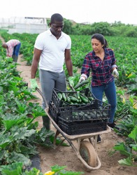 Afro-american man and latino woman together harvest zucchini on field