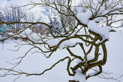 After a heavy snowfall in winter, the skeletal outline of an Acer traps powdery snow in its branches