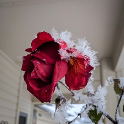 After a long night of freezing fog, my roses were quite cold