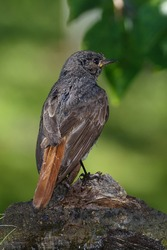After bathing, Black Redstart stands on wood with a knot. Czech Republic. Europe.