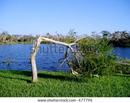 After Hurricane Wilma, broken tree