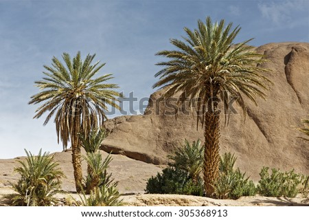 After passing through the Atlas mountains Palm trees,small creek surrounded with rock hills welcomes people in Fint Oasis near Ouarzazate town located very near the sahara desert in Morocco
