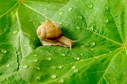 After rain. Snail and water drops on green leaves