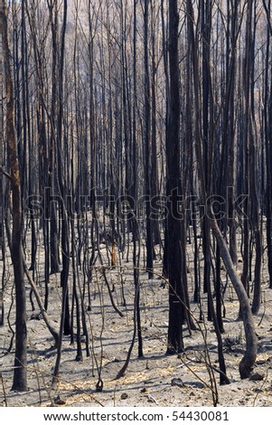 Aftermath of a bushfire, dead and blackened trees.
