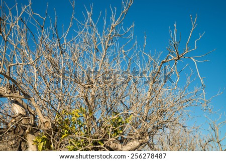 Aftermath of severe frost on a citrus tree