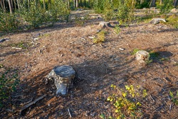 Aftermath of tree felling tree stumps