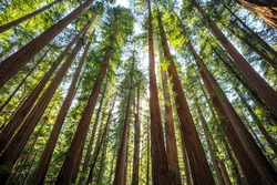 Afternoon Light on the Redwoods at Jedediah Smith State Park, Redwoods National Park, California