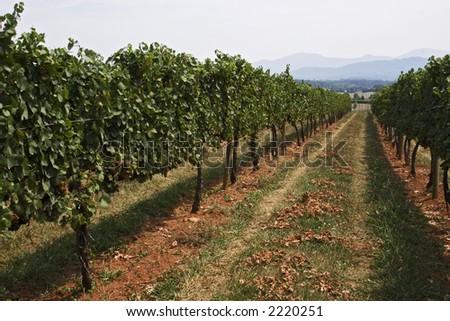 Afton Mountain Virginia Vineyard Rows