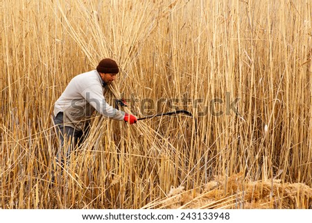AFYONKARAHISAR,TURKEY - November 9,2013 :  Unidentified workers harvest reeds and bulrush from the Lake Eber in Afyon,Turkey and sells them to the matting industry.