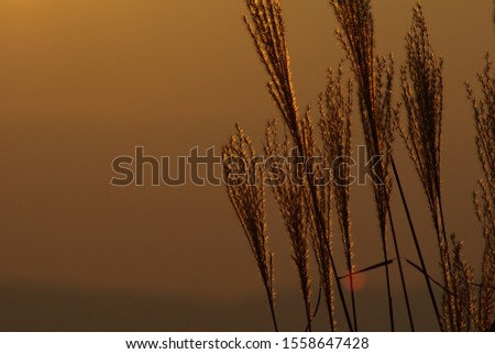 Against the backdrop of the sky dyed in orange with twilight, a group of Japanese pampas grass growing on the plateau in late autumn and its ears shining in the backlight and shining.