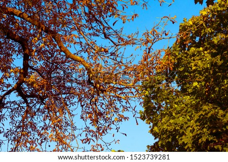 against the background of a blue autumn sky, the foliage of two trees looks great with foliage foliage #1523739281