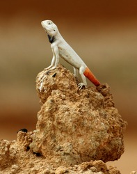 Agama on the Middle East desert.