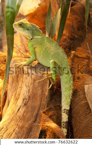 Agama sitting on the branch