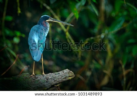 Agami heron, Agamia agami, bird hiden in dark tropical forest. Heron in nature green vegetation. Wildlife scene from forest of Costa Rica.