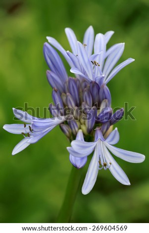 Agapanthus or Lily of the Nile flower exotic tropical flower. USA, Hawaii, Maui,