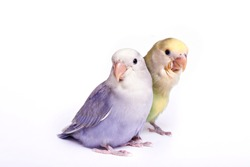 Agaporni chicks couple on white background
