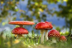 agaric mushroom Red amanita in french pasture Fairy ring