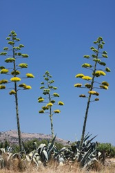 Agave Americana (Agāve americāna) plant in Greece. Sentry plant, century plant, maguey on a blue sky. Blooming American aloe