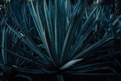 Agave americana, Colorful agave trees, Looks like a pointed leaf And with thorns on the leaves.