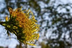 Agave americana,common namessentry plant,century plant,magueyorAmerican aloe,is aspeciesofflowering plantin thefamily
