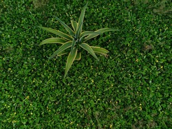 Agave americana flowering plant grows in flower gardens