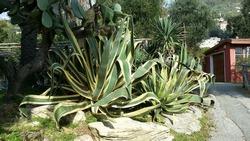 agave americana in the park of Nervi in Genoa in Liguria In Italy