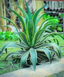 Agave americana,indian common names sentry plant, century plant, maguey or American aloe, is a species of flowering plants in the family Spa..