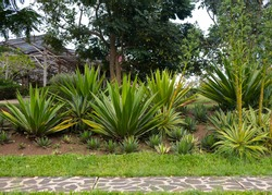 Agave americana / sentry plant / century plant / maguey / American aloe is a species of flowering plant on the garden or park as an ornamental plant with lush green grass