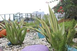 Agave Americana Striata. Agave Americana variegated desert cactus