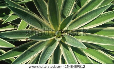 Agave angustifolia v. marginata as an ornamental plant and is used to make Mezcal (Mexico drinks). Color image at ratio 16:9.