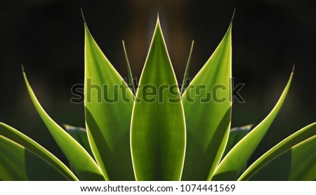 Agave attenuata, a native, tropical, ornamental plant with symmetrical, backlit, green, spineless leaves on a natural background texture.