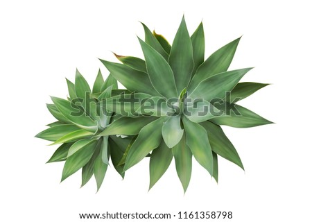 Agave attenuata, Fox Tail Agave Plants Isolated on White Background