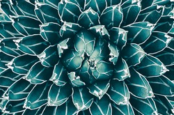 agave cactus, abstract nature background, top view of succulent plant, blue toned process