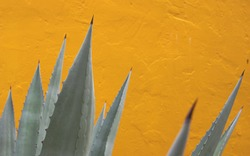 agave cactus border on yellow background, succulent againts yellow wall with copy space, mexican concept backdrop