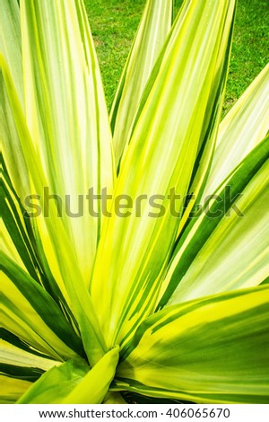 Agave cactus leaves