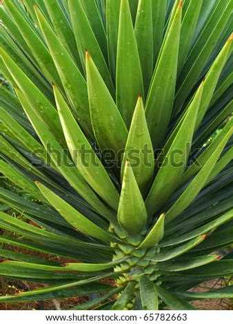 Agave. Close-up.