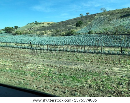 AGAVE FIELD IN JALISCO #1375594085
